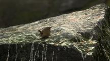 Winter Wren Perching And Alert With Tail Up On Guano Covered Rock