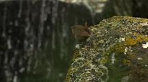 Winter Wren Perching And Chirping On Moss And Lichen Covered Rock