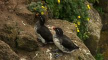 Parakeet Auklets Perch Near Wildflowers At Cliffside Rookery Pribilof Islands