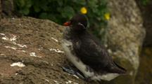 Brilliant Parakeet Auklet Perches Near Wildflowers At Cliffside Rookery Pribilof Islands