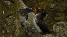 Brilliant Parakeet Auklets Socialize At Cliffside Rookery Pribilof Islands