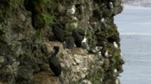 Red-Faced Cormorant Adults With Chicks Nest On Cliffs Above Ocean