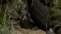 Red-Faced Cormorant Shelters Chicks In Nest On Cliffs Above Ocean