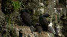 Red-Faced Cormorants Shelter Hungry Chicks In Nest On Cliffs Above Ocean