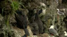 Colorful Red-Faced Cormorants And Hungry Chicks In Cliffside Nest