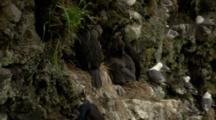 Red-Faced Cormorant Regurgitates Feeds Hungry Chicks At Cliffside Nest