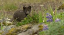 Arctic Cross Fox Kits On Marine Tundra Habitat