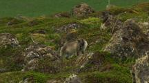Arctic Cross Fox Kits Near Den On Marine Tundra