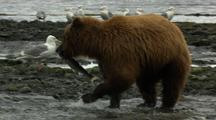 Brown Bear Grizzly Bear Pounces And Catches Salmon In Alaska River