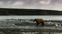 Wide Shot Brown Bear Grizzly Bear Eats Salmon At Mouth Of Alaska River