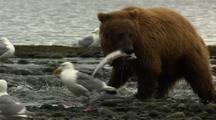 Grizzly Bear Brown Bear In Alaska Catching Salmon In River Medium Shot
