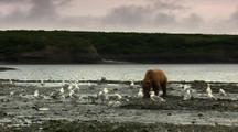 Brown Bear Grizzly Bear Eats Salmon Alongside Alaska River