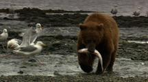 Close Up Brown Bear Grizzly Bear Claws On Fish Then Bear Lunges For Another Fish Pull To Medium Shot