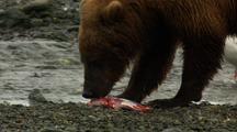 Brown Bear Grizzly Bear Eats Salmon Alongside Alaska River Medium Shot