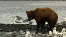 Grizzly Bear Brown Bear Catches Fish Among Eager Seagulls In Alaska River