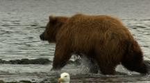 Salmon Scoots Upriver Trying To Escape Pursuing Bear But Fails