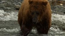 Grizzly Bear Brown Bear Catching Fish Medium Shot Catching Salmon