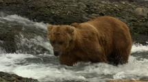 Brown Bear Grizzly Bear Fishes For Salmon In Pool On Alaska River