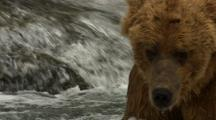 Close Up Brown Bear Grizzly Bear Moves Head Back And Forth Trying To Follow Salmon In Alaska River