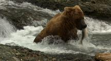 Brown Bear Grizzly Bear Catches Salmon Under Waterfall On Alaska River