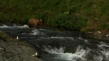 Brown Bear Grizzly Bear Descends Slope Down To Fast Moving Alaska River To Catch Fish