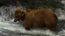 Brown Bear Grizzly Bear Fishes For Salmon At Falls On Alaska River