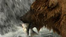 Close Up Of Grizzly Bear Brown Bear Catching Fish In Alaska River Dinner Lunch