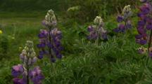 Pan Across Wildflowers On Alaska Tundra Beautiful Lupine