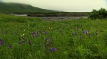 Pan Across Wild Iris And Tundra Wildflowers River And Bluff In Background
