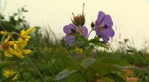 Wild Geranium In A Light Breeze On The Alaska Tundra