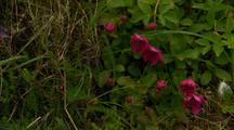 Pan Across Wildflowers On Alaska Tundra Wild Geranium In A Light Breeze