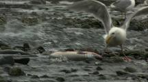 Seagull Scavenging Pecking At Dying Salmon On Gravel Riverside