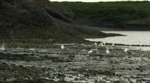 Wide Shot Seagull Scavenging Pecking At Dying Salmon On Gravel Riverside