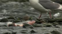 Last Throes Of Dying Salmon Pecked By Seagull On Alaska River