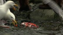 Close Up Brown Bear Grizzly Bear Eats Salmon On River Remains Scavenged  By Hungry Seagulls After Bear Leaves