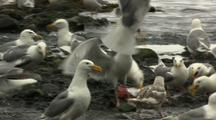 Seagulls Scavenge Dead Salmon At Rivers Edge