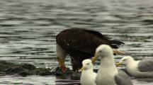 Bald Eagle Eating Salmon On Gravel River Bank