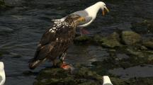 Bald Eagle And Gulls Scavenge Dead Salmon On Riverside