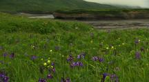 Wildflowers Wild Iris And Paintbrush On Alaska Tundra Wide Shot With River And Bluff In Background