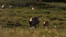 Close Up Caribou Mother Cow And Calf Enter Frame Camera Track Through Late Day Sun Cottongrass Arctic National Wildlife Refuge