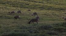Slow Zoom In Medium Shot Caribou Calf Nurses As Other Caribou Migrate Past Through Field Of Cottongrass Arctic National Wildlife Refuge