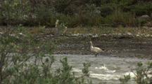 Single Snow Goose Standing In Arctic River Alaska