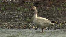 snow goose standing in arctic river Alaska