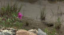 Pink Dwarf Fireweed Next To River In Alaska