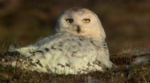 Very Close Up Lock Shot Snowy Owl Nesting On The Arctic Tundra Turns Head Evening Light