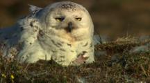 Snowy Owl With Baby Chick In The Arctic Tundra