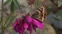 Close Up Lock Shot Orange And Brown Moth Probing Vetch Flower With Proboscis