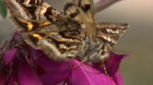 Very Close Up Moths Searching For Food On Vetch
