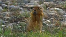 Very Close Up Arctic Ground Squirrel Sits Up To Eat In Arctic National Wildlife Refuge