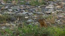 Close Up Arctic Ground Squirrel Runs In Arctic National Wildlife Refuge